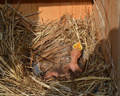 Bluebird Chick, Whoop 'n Holler Museum, Aug 2013