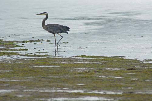 A blue heron in the bay by Fort Flagler