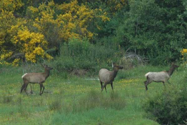 Fox Hill Elk June 12 09