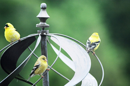 May 25, 2018 - Goldfinch on front yard wind spinner